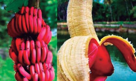Llega el plátano rojo